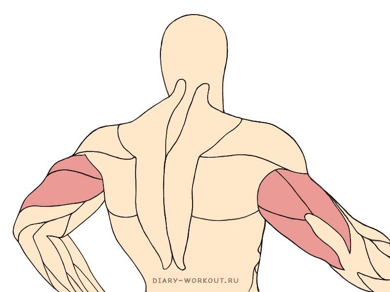 Трёхглавая мышца плеча, трицепсы