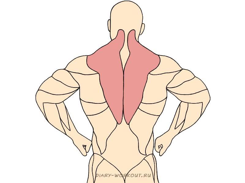 Трапециевидная мышца, трапеция