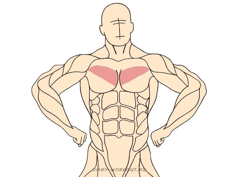 Средний пучок большой грудной мышцы