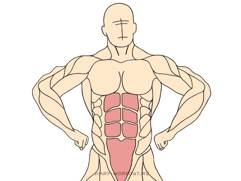 Прямая мышца живота