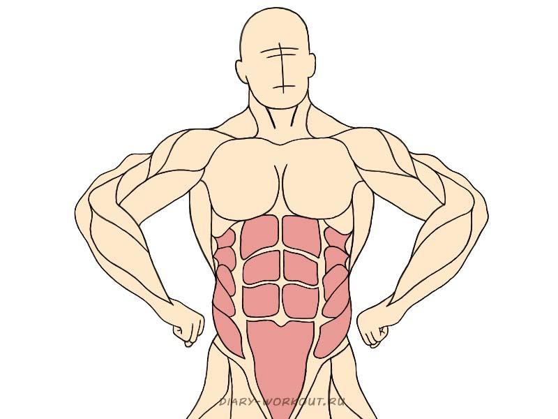 Мышцы живота, пресс