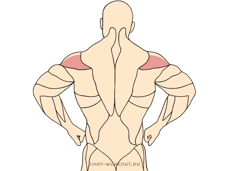 Задний пучок дельтовидной мышцы, задние дельты