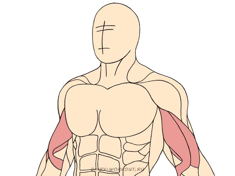 Двуглавая мышца плеча, бицепс