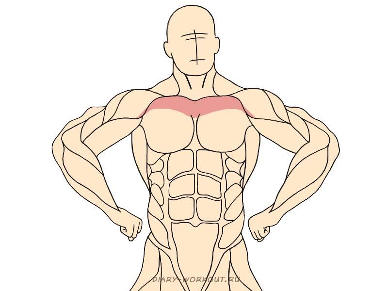 Верхний пучок большой грудной мышцы