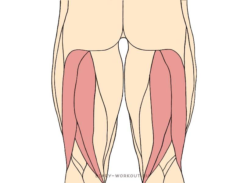 Двуглавая мышца бедра, бицепс бедра