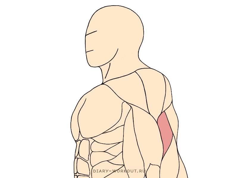 Плечевая мышца, брахиалис
