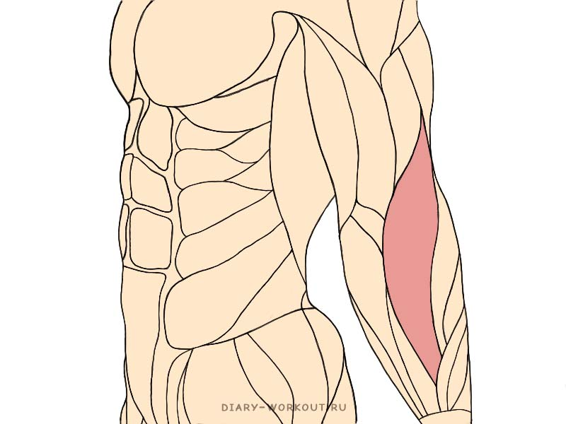Плечелучевая мышца