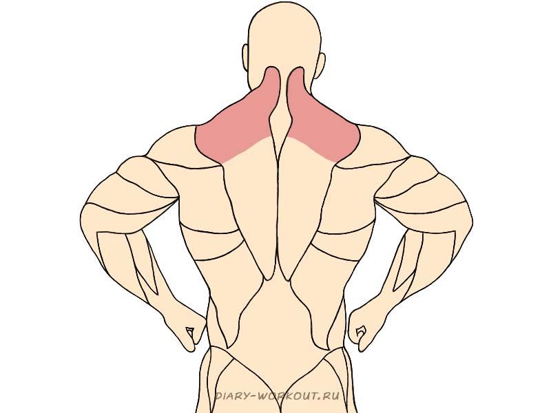 Верхняя часть трапециевидной мышцы