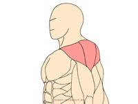 Средний пучок дельтовидных мышц
