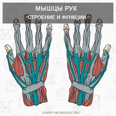 Мышцы рук: мышцы предплечья и кисти видео по их тренировки