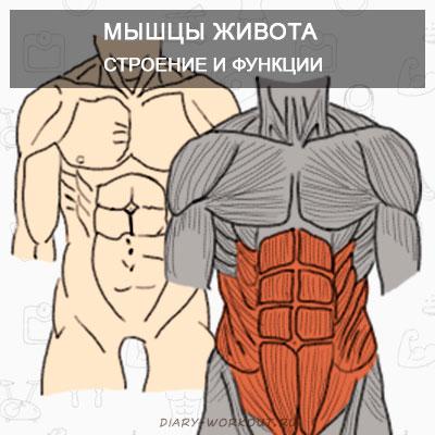 Мышцы живота таблица
