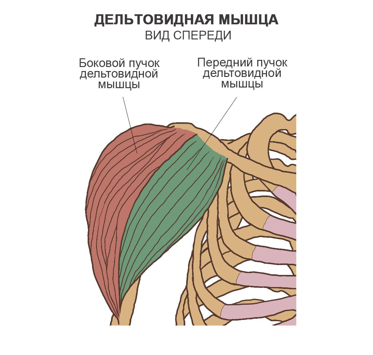 Дельтовидная мышца, вид спереди