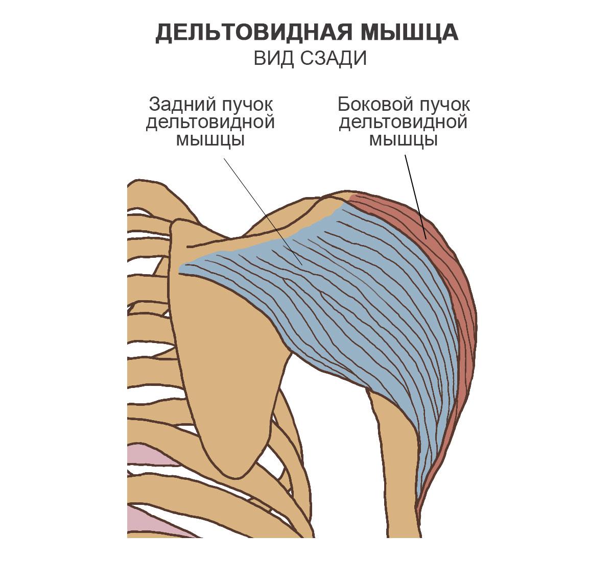 Дельтовидная мышца, вид сзади