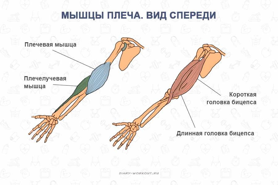 Мышцы рук, бицепс