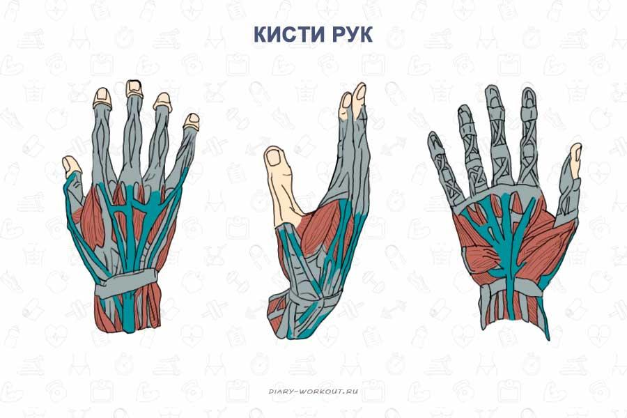 Изображение - Мышцей сгибателем руки в локтевом суставе является myshtsy-ruk-kisti