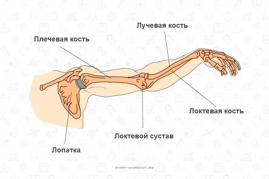 Мышцы рук, кости
