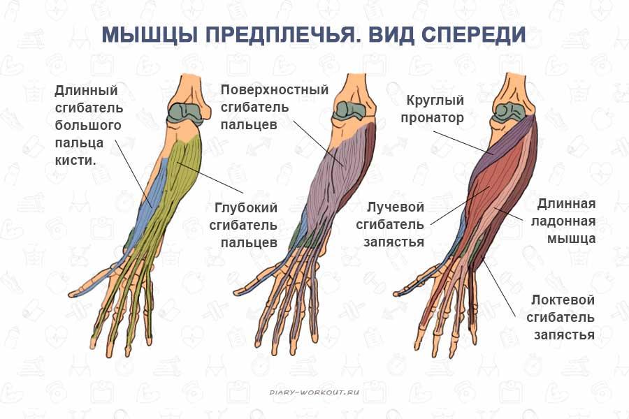 Мышцы рук, предплечья, вид спереди