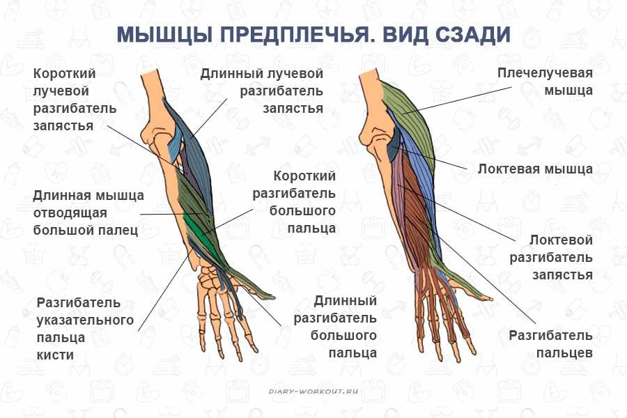 Изображение - Мышцей сгибателем руки в локтевом суставе является myshtsy-ruk-predplechya-vid-szadi