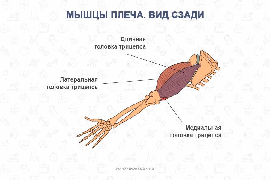 Изображение - Мышцей сгибателем руки в локтевом суставе является myshtsy-ruk-tritseps