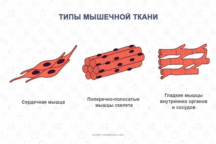 Типы мышечной ткани
