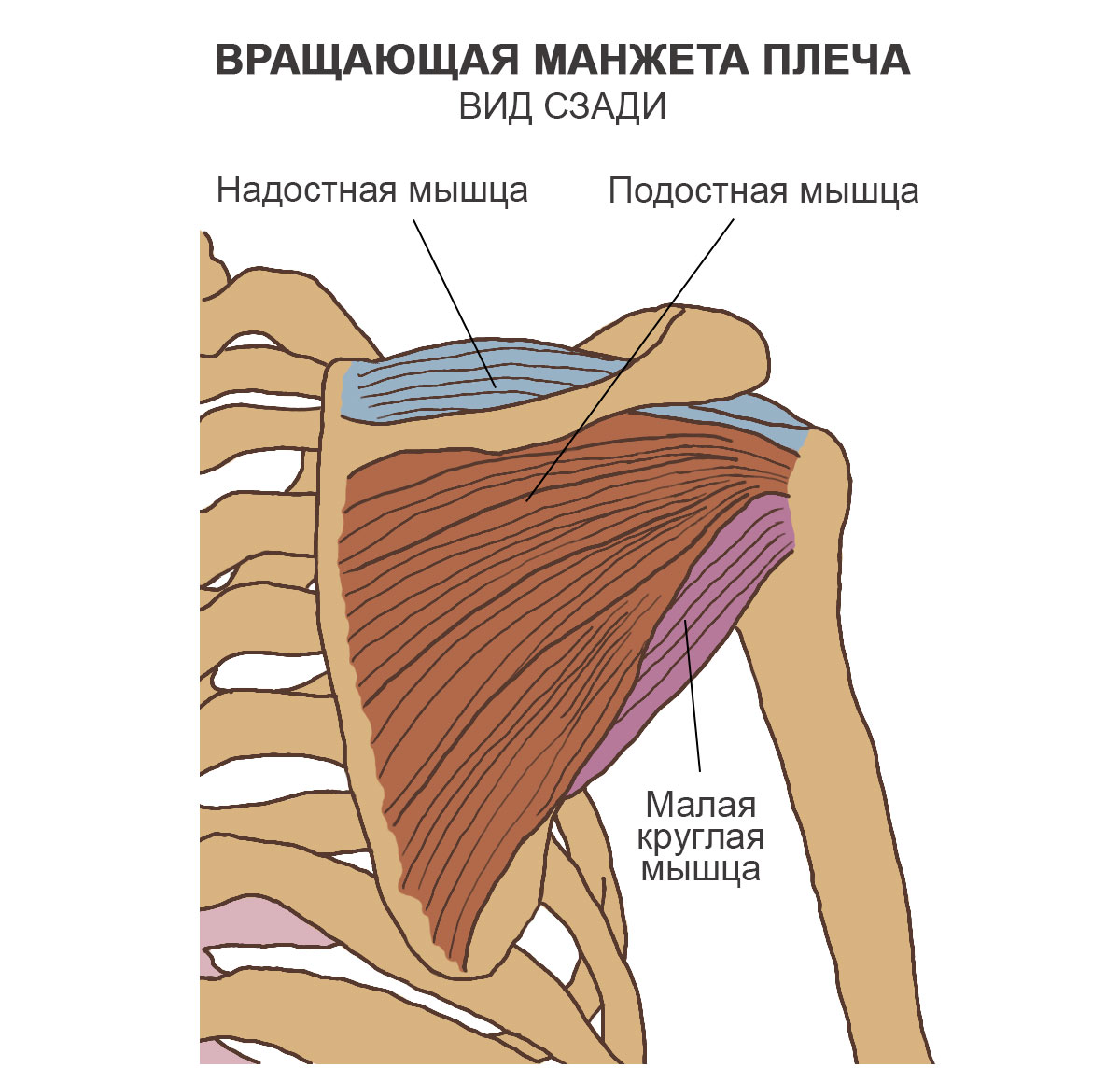 Вращающая манжета плеча, вид сзади